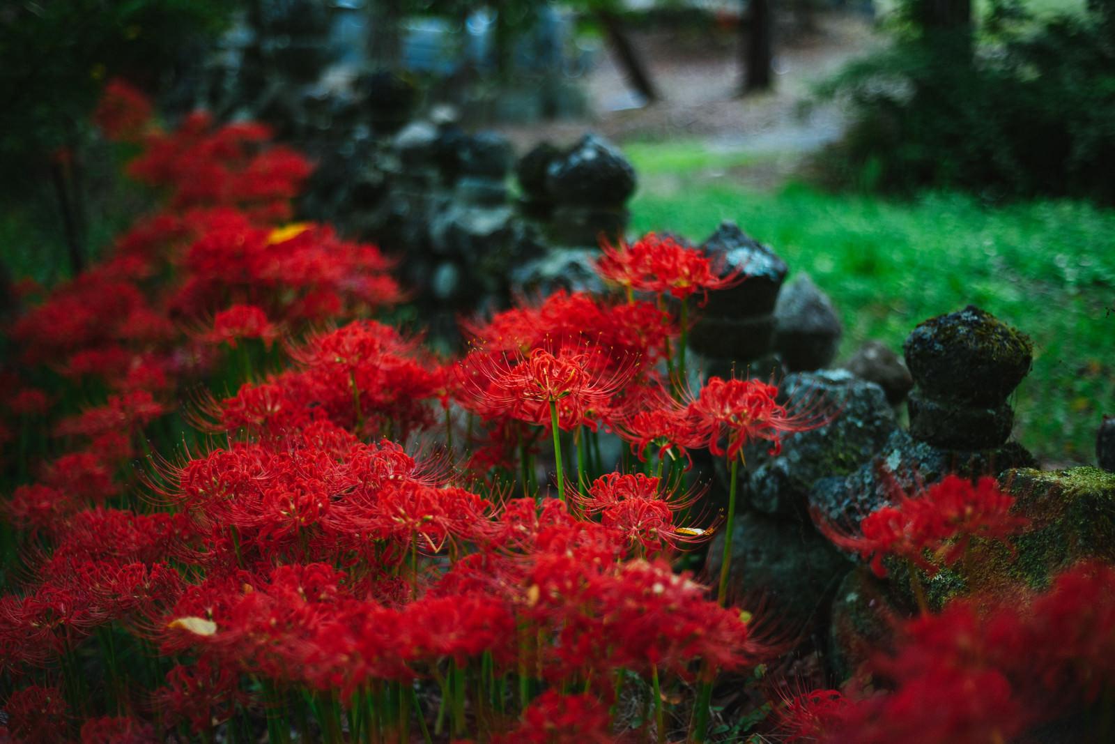 「弥勒堂の彼岸花(鳥屋)」の写真
