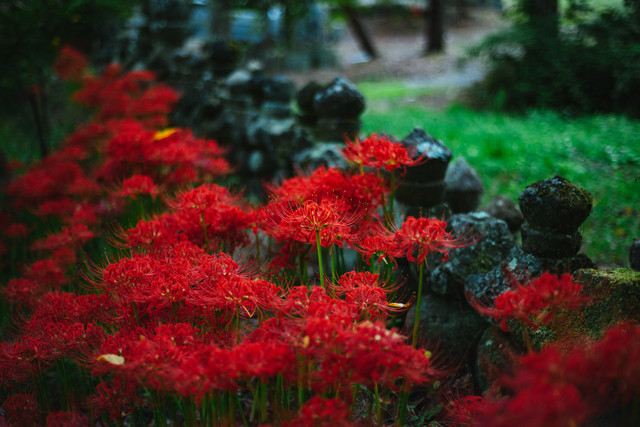 弥勒堂の彼岸花(鳥屋)の写真