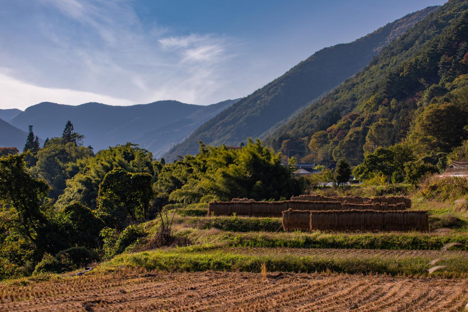 「稲刈り後の田んぼとはぜかけ米」の写真