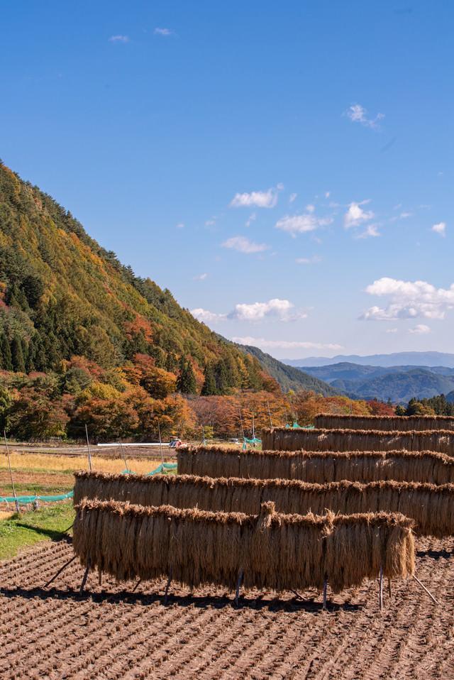 収穫後のはぜ掛けされた稲穂の写真
