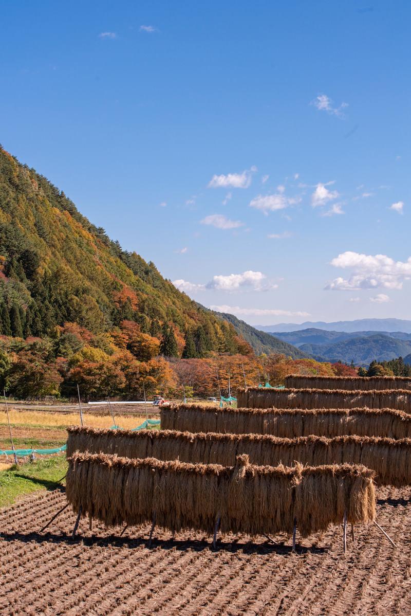 「収穫後のはぜ掛けされた稲穂」の写真