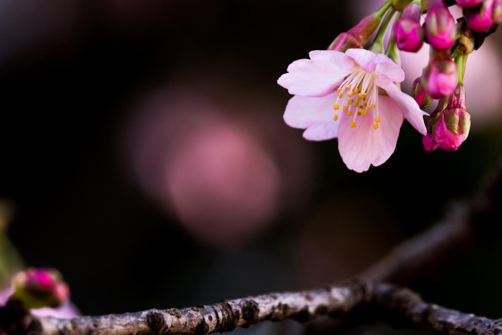 「大寒桜(オオカンザクラ)」の写真