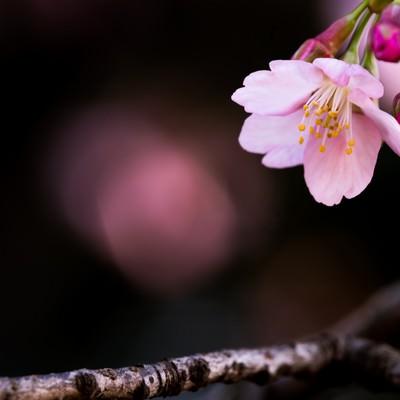 大寒桜(オオカンザクラ)の写真