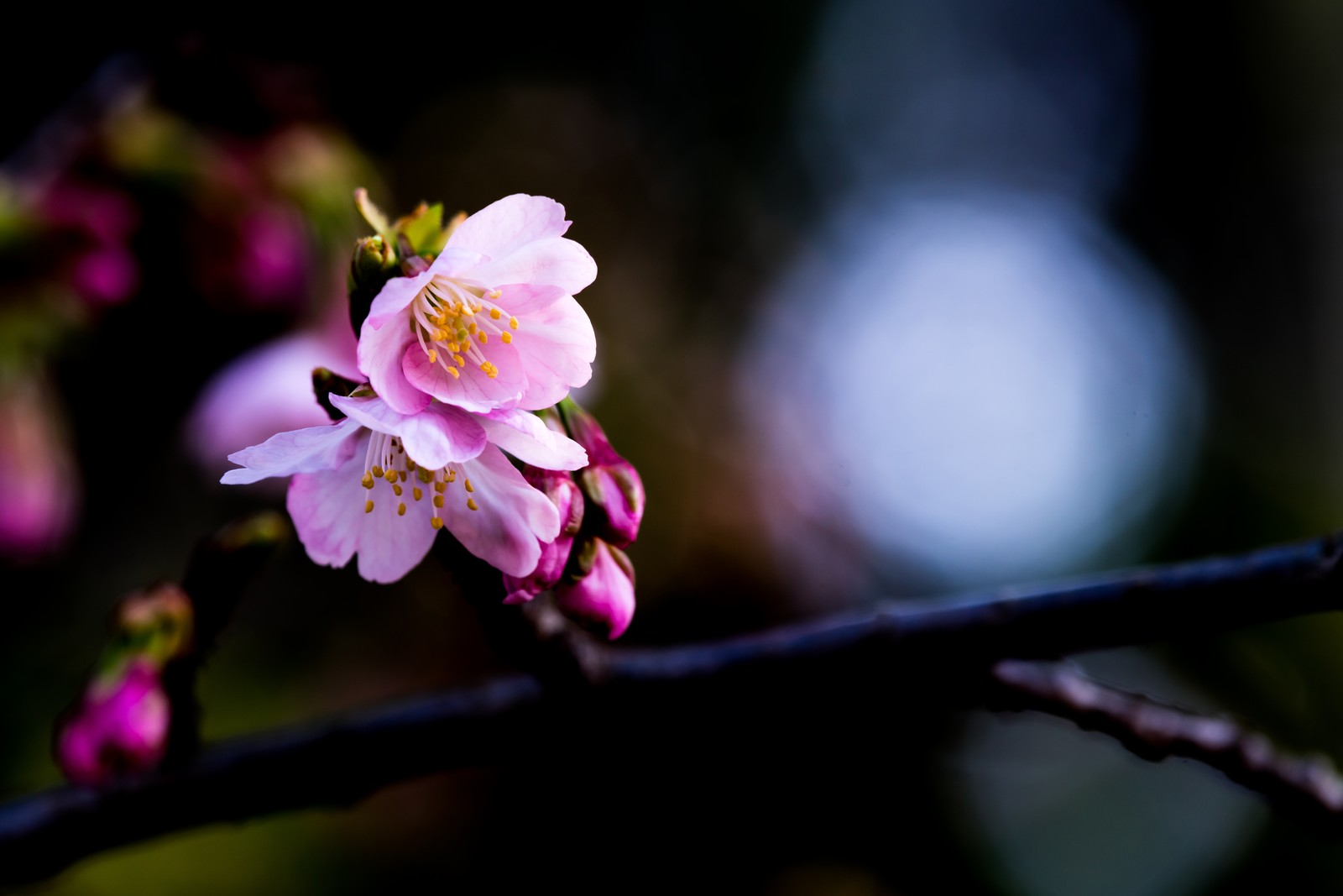 「大寒桜」の写真