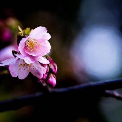 大寒桜の写真