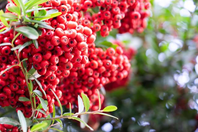 赤い果実が実るピサカンサ(バラ科)の写真