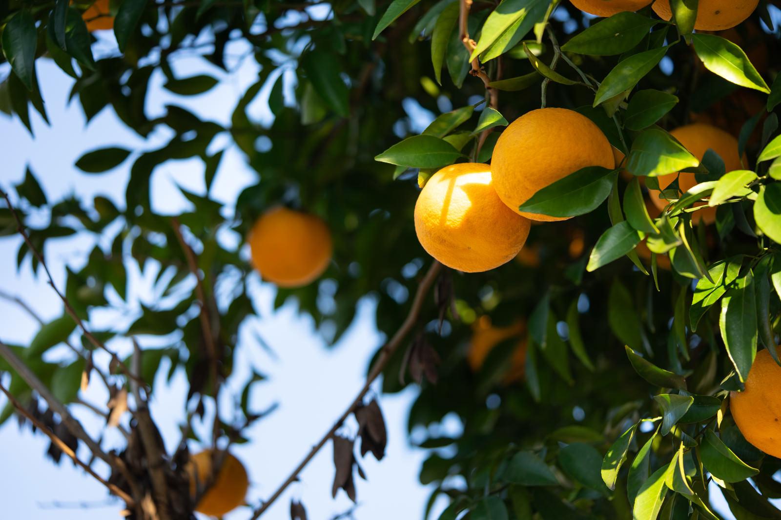 「葉に隠れる黄色い果実(柑橘類)」の写真