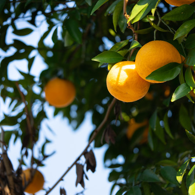 葉に隠れる黄色い果実(柑橘類)の写真