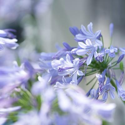 「アガパンサスの花」の写真素材