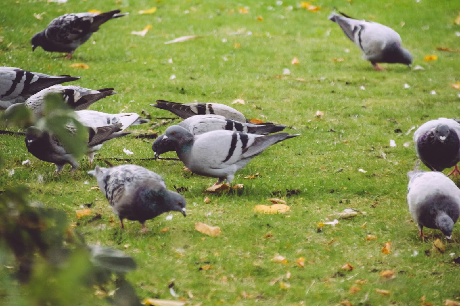 「芝と鳩」の写真