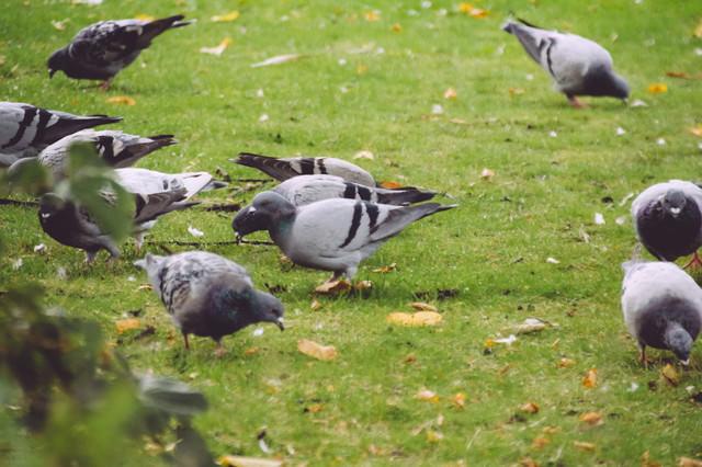 芝と鳩の写真