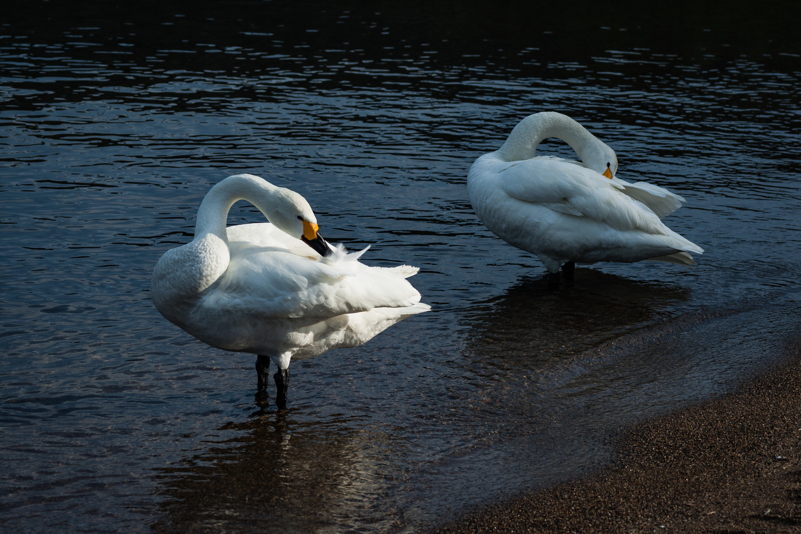 「羽を毛づくろいする鳥(2羽)」の写真