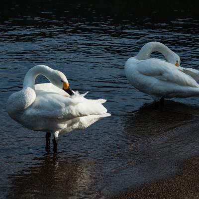 羽を毛づくろいする鳥(2羽)の写真