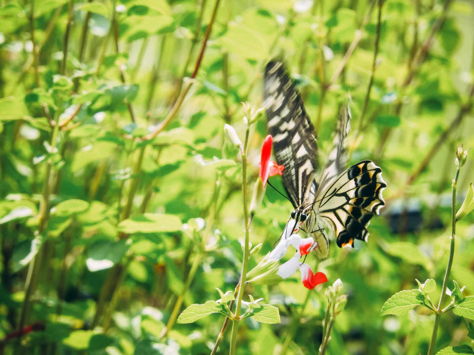 「花に止まる瞬間のアゲハチョウ」の写真