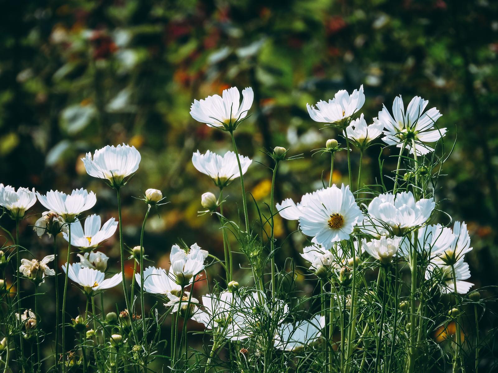 「群生する白いコスモス」の写真