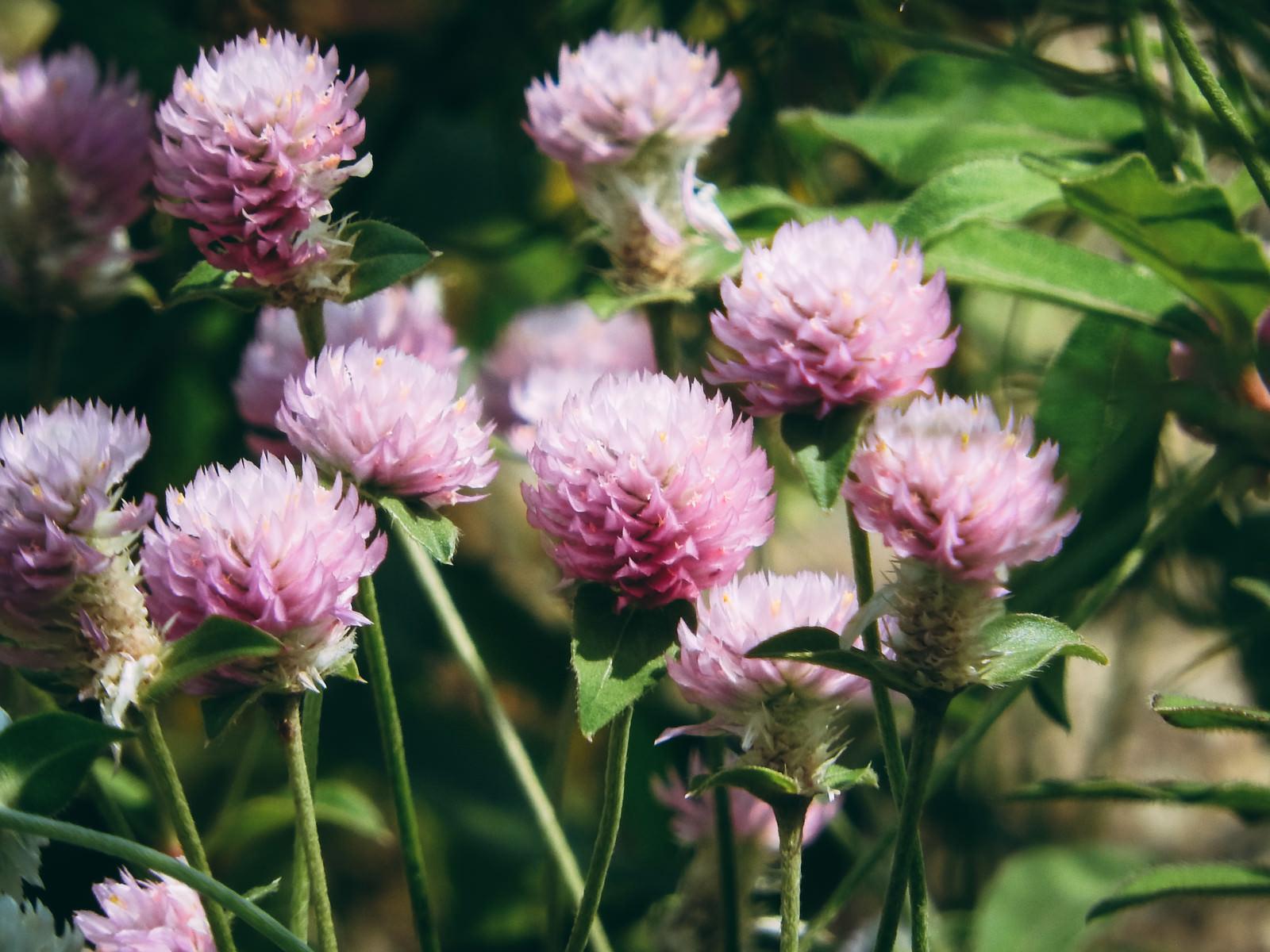 「センニチコウのピンク色の苞」の写真