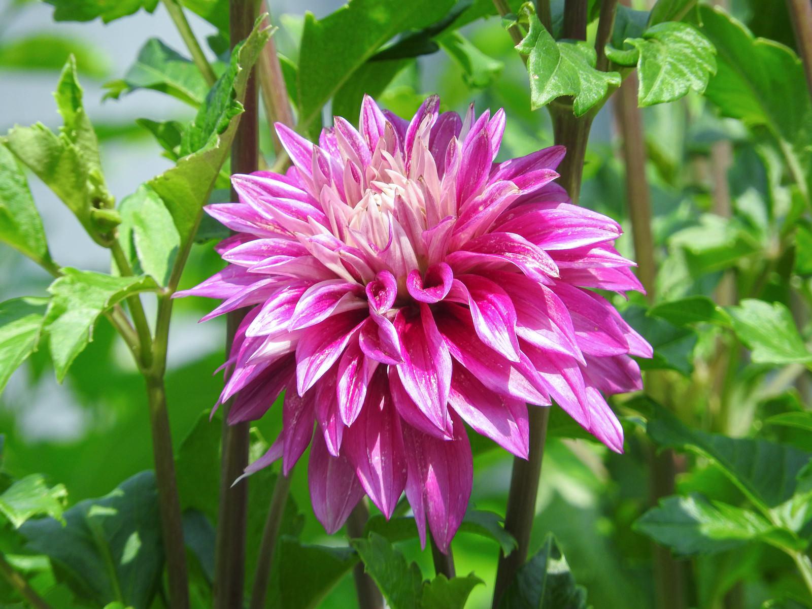 「大きく花開くダリア」の写真