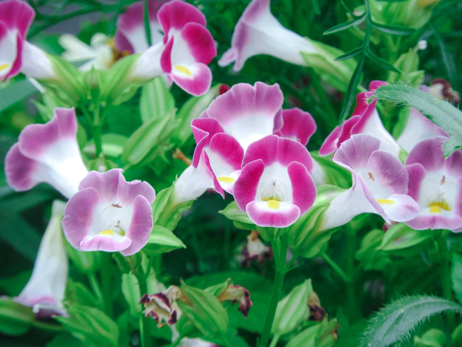 「花咲くトレニア(アゼトウガラシ科)」の写真