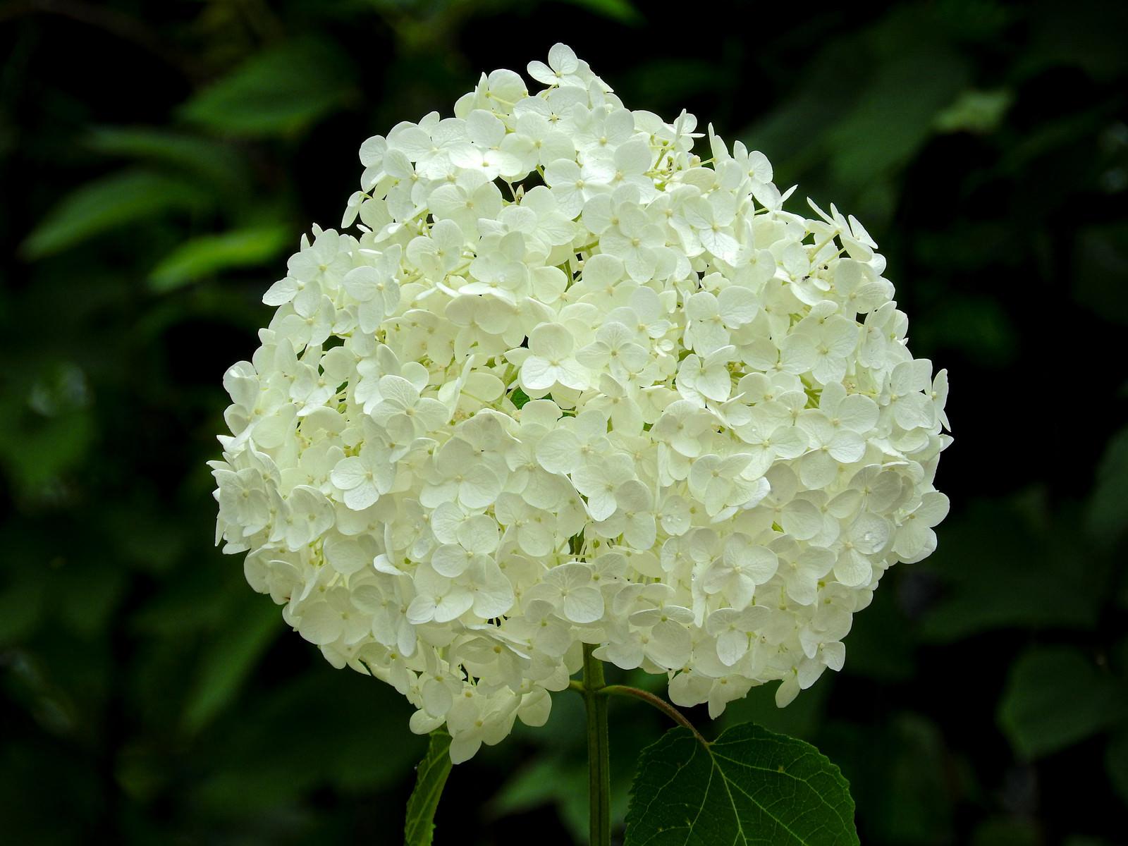 「白の紫陽花」の写真