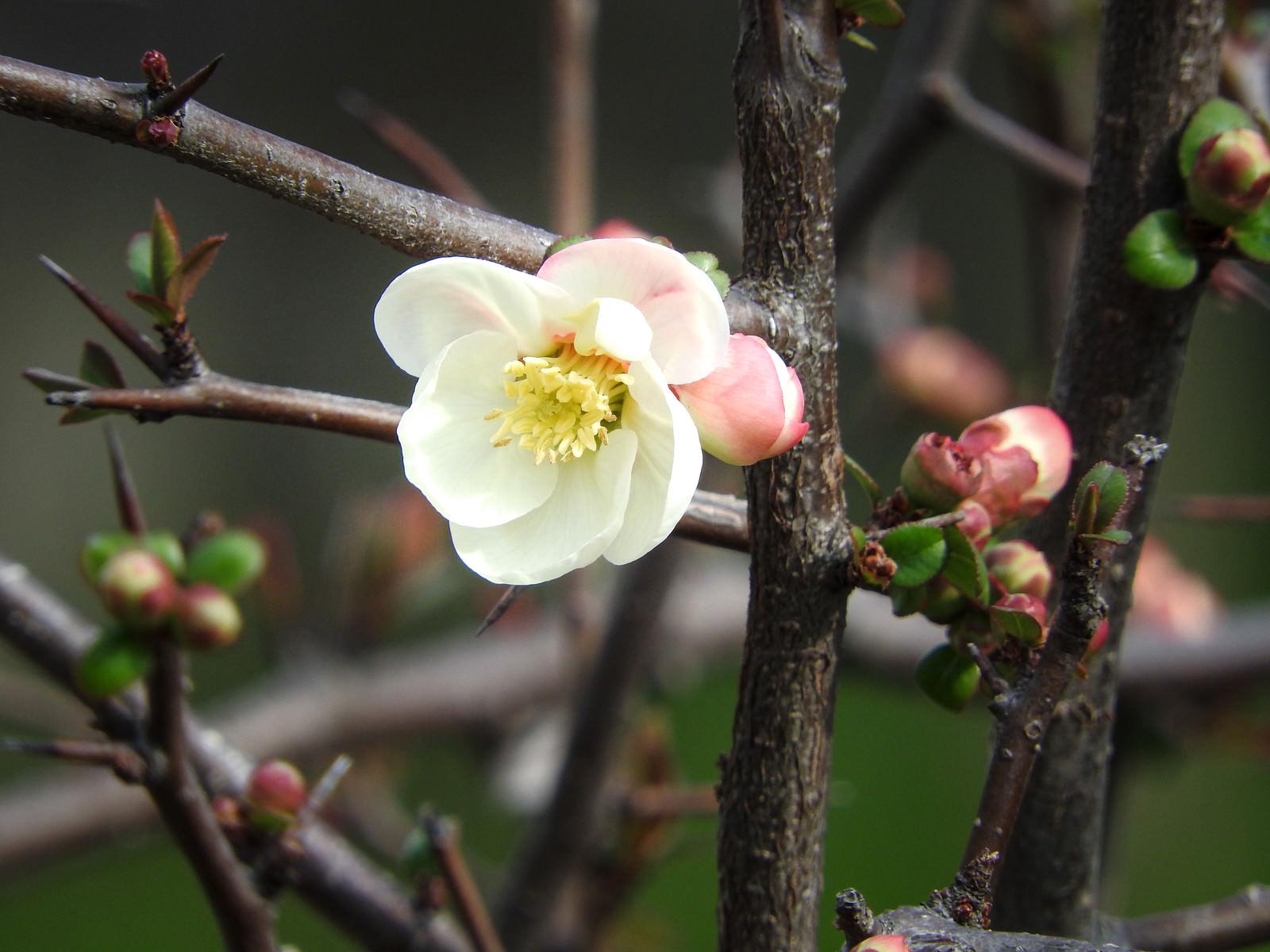 「花開く木瓜(ボケ)」の写真