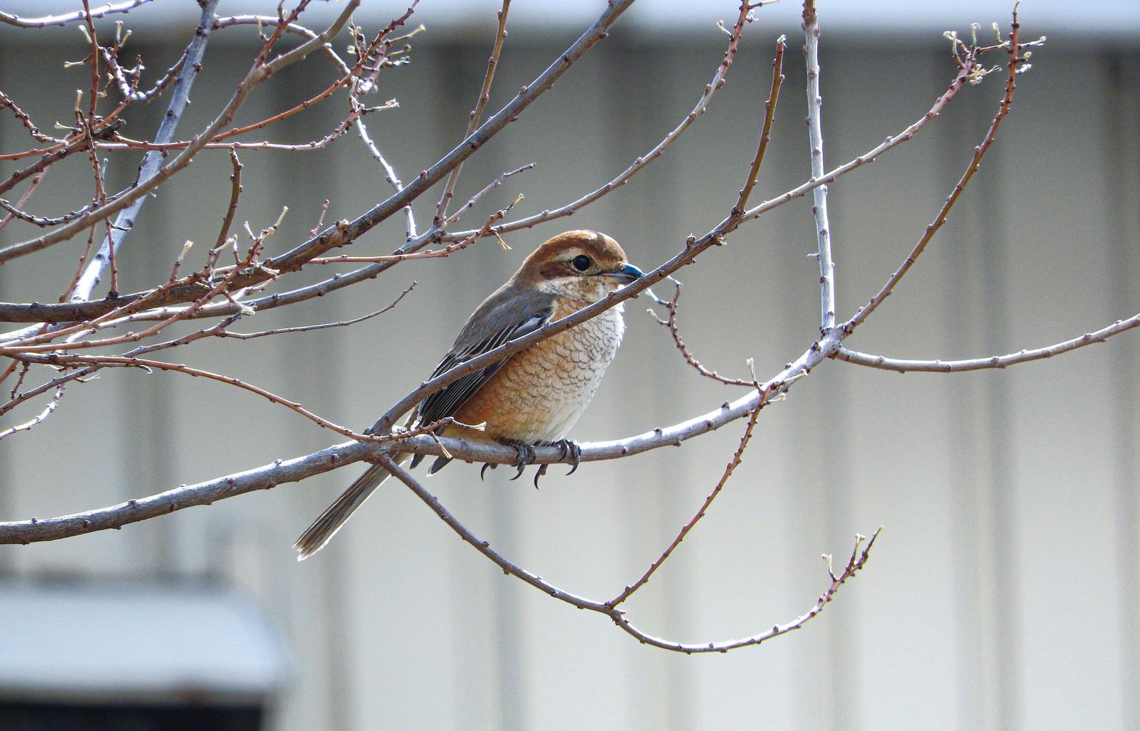 「枝に止まる小鳥(モズ)」の写真