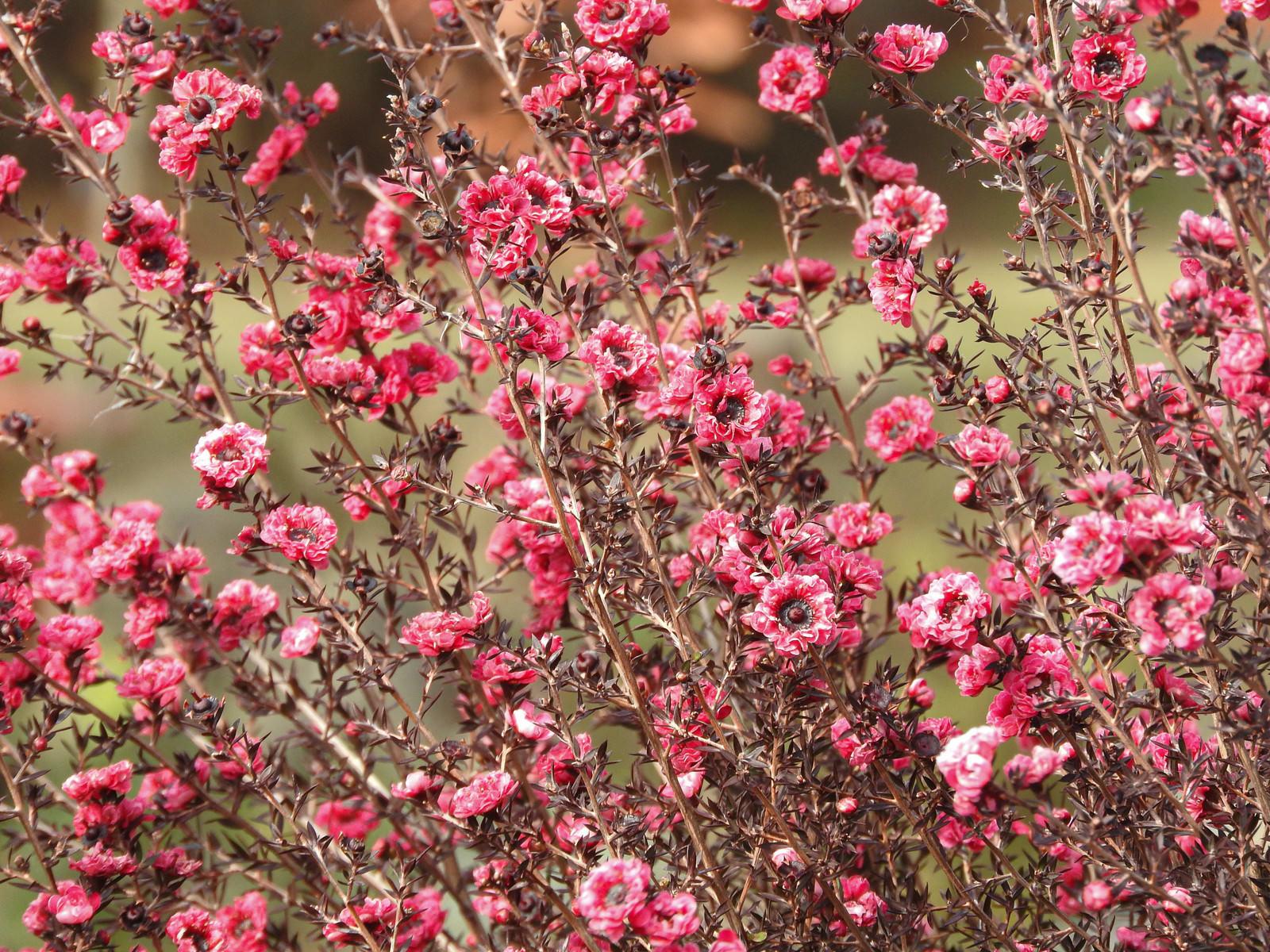 「桃色の花(ギョリュウバイ)」の写真