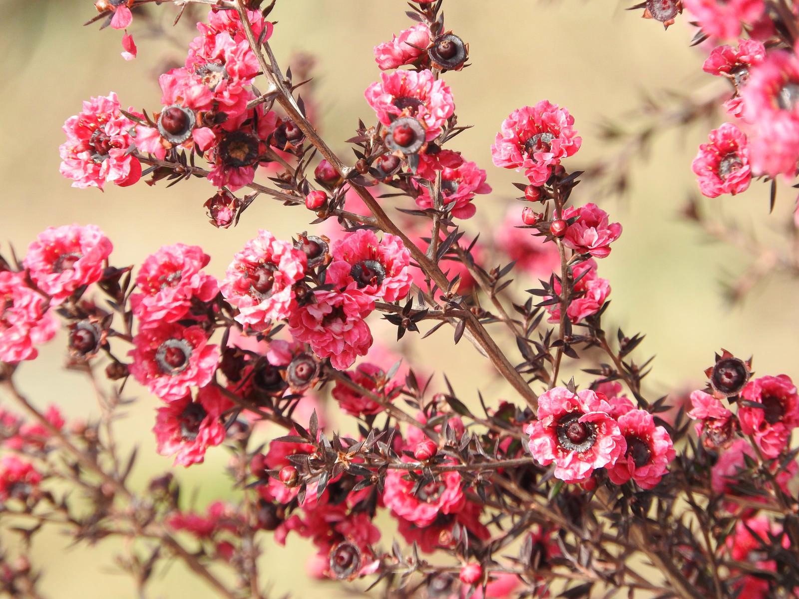 「ギョリュウバイの花」の写真