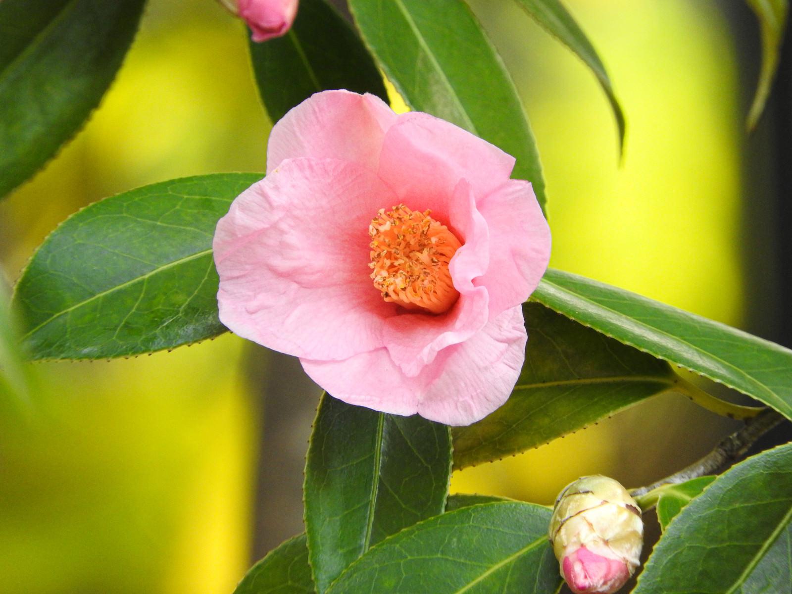 「椿の花(太郎冠者)」の写真