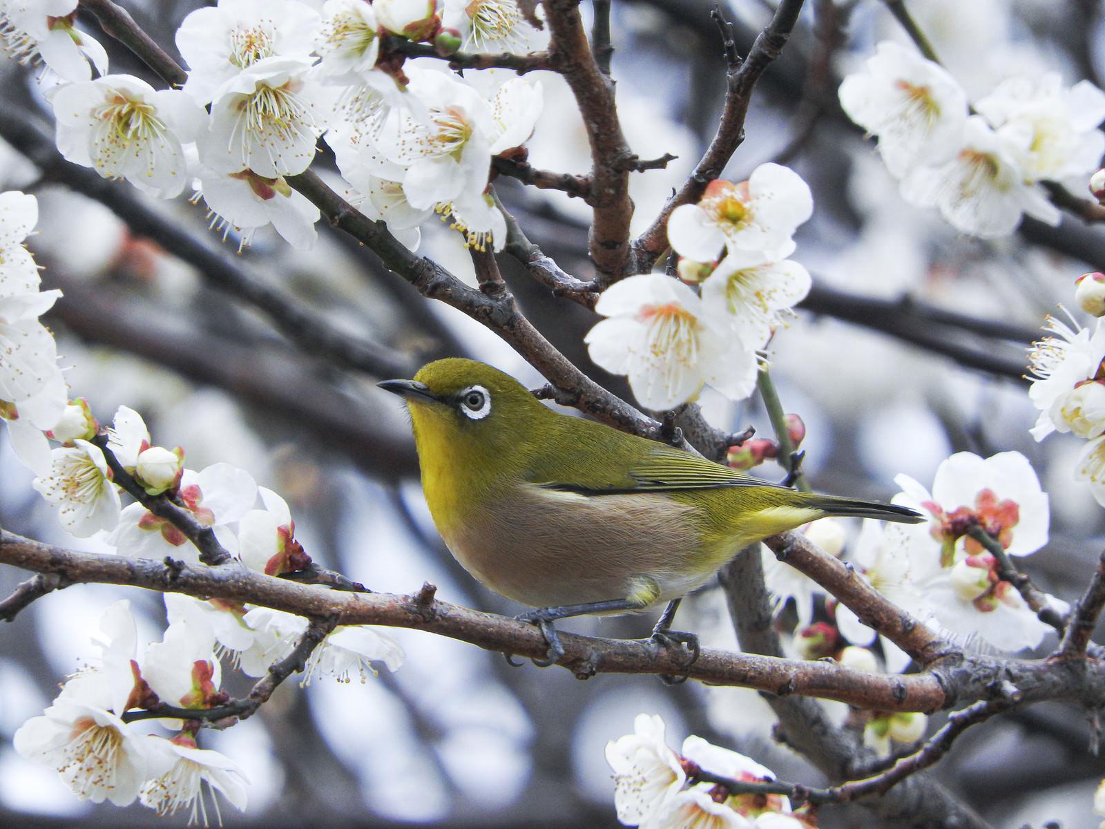 「梅の枝に止まるメジロ(野鳥)」の写真