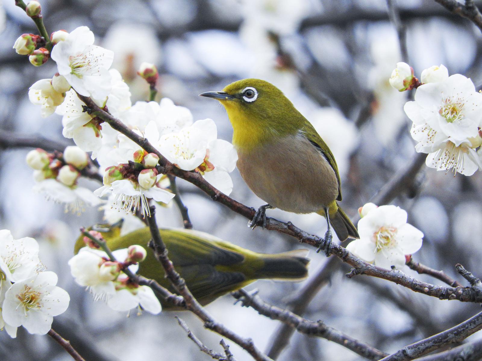 「二羽のメジロと梅の花」の写真