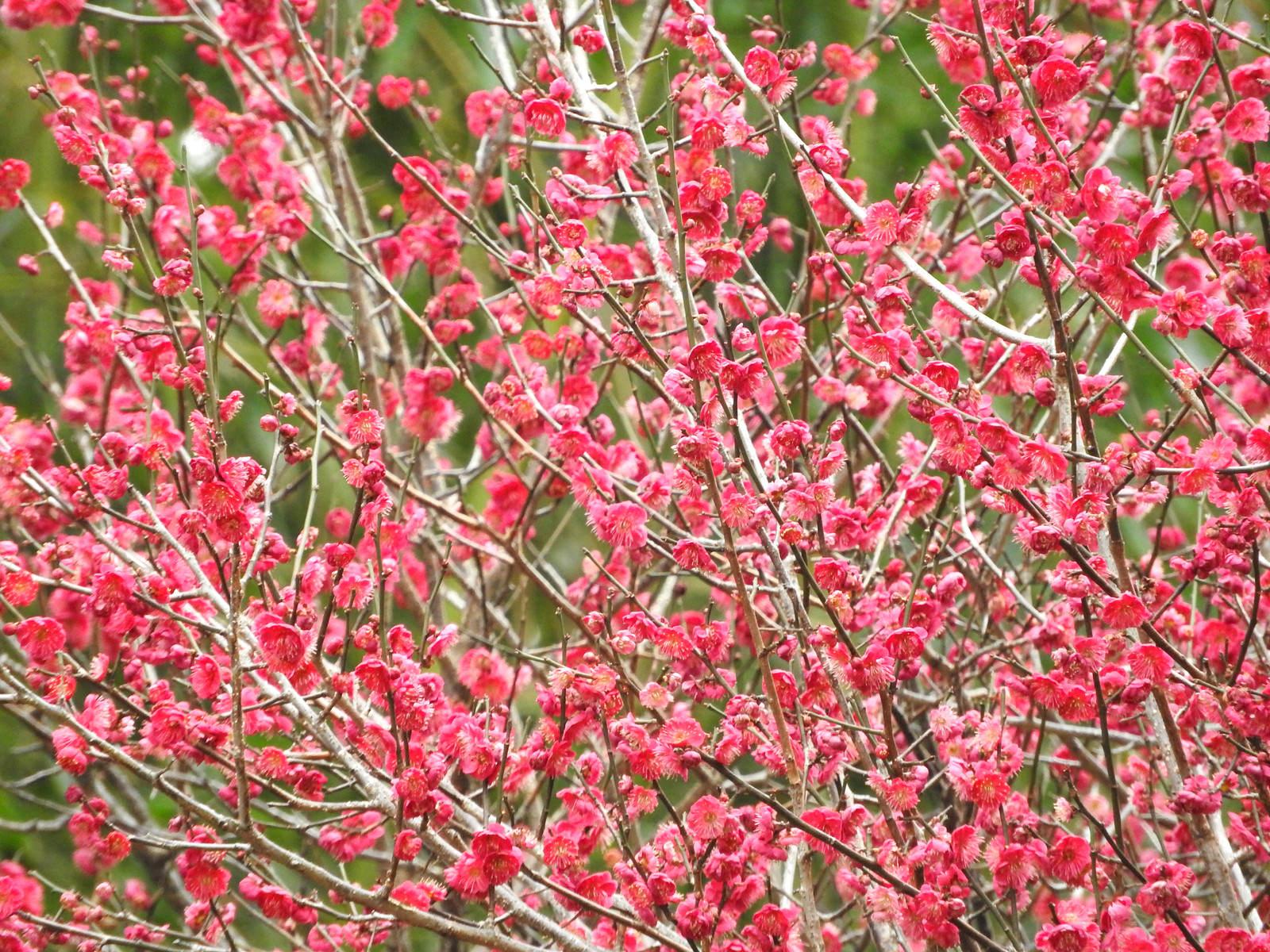 「満開の梅の花」の写真
