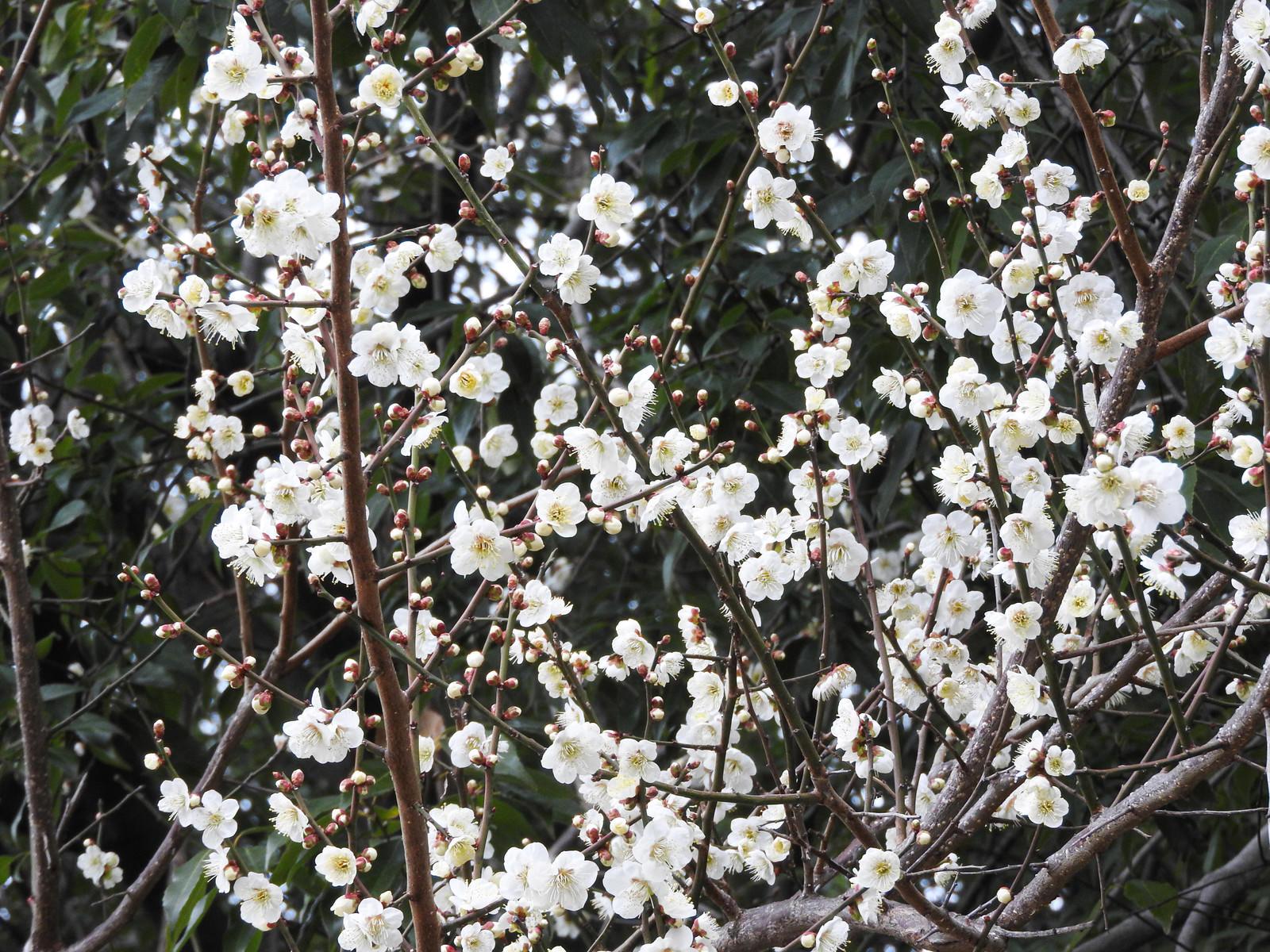「開花を始めた白梅」の写真
