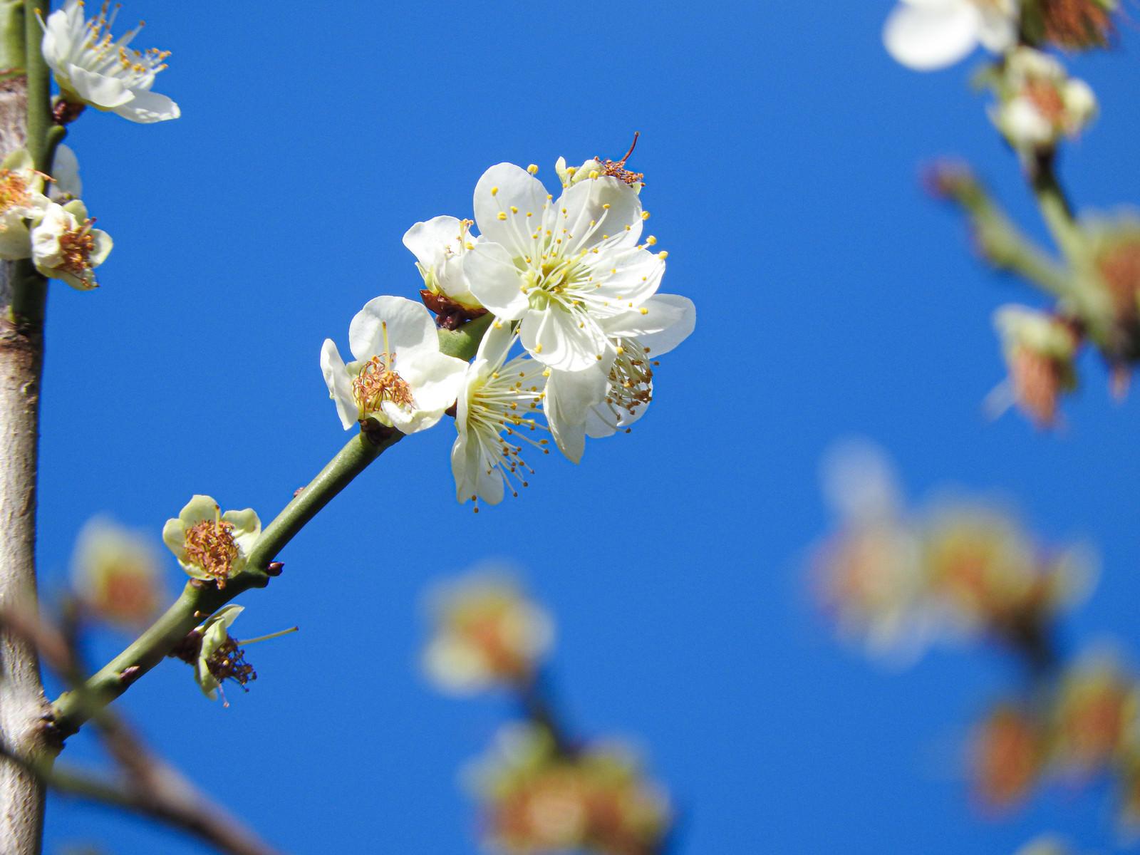 「開花した白梅と青空」の写真