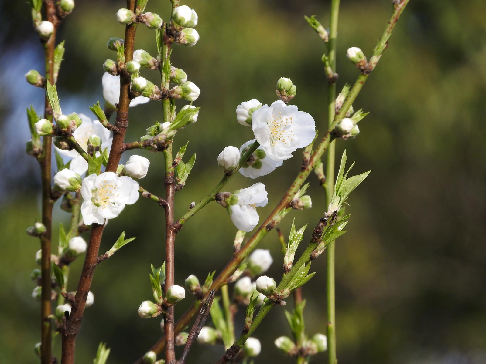 「開花したハナモモ」の写真