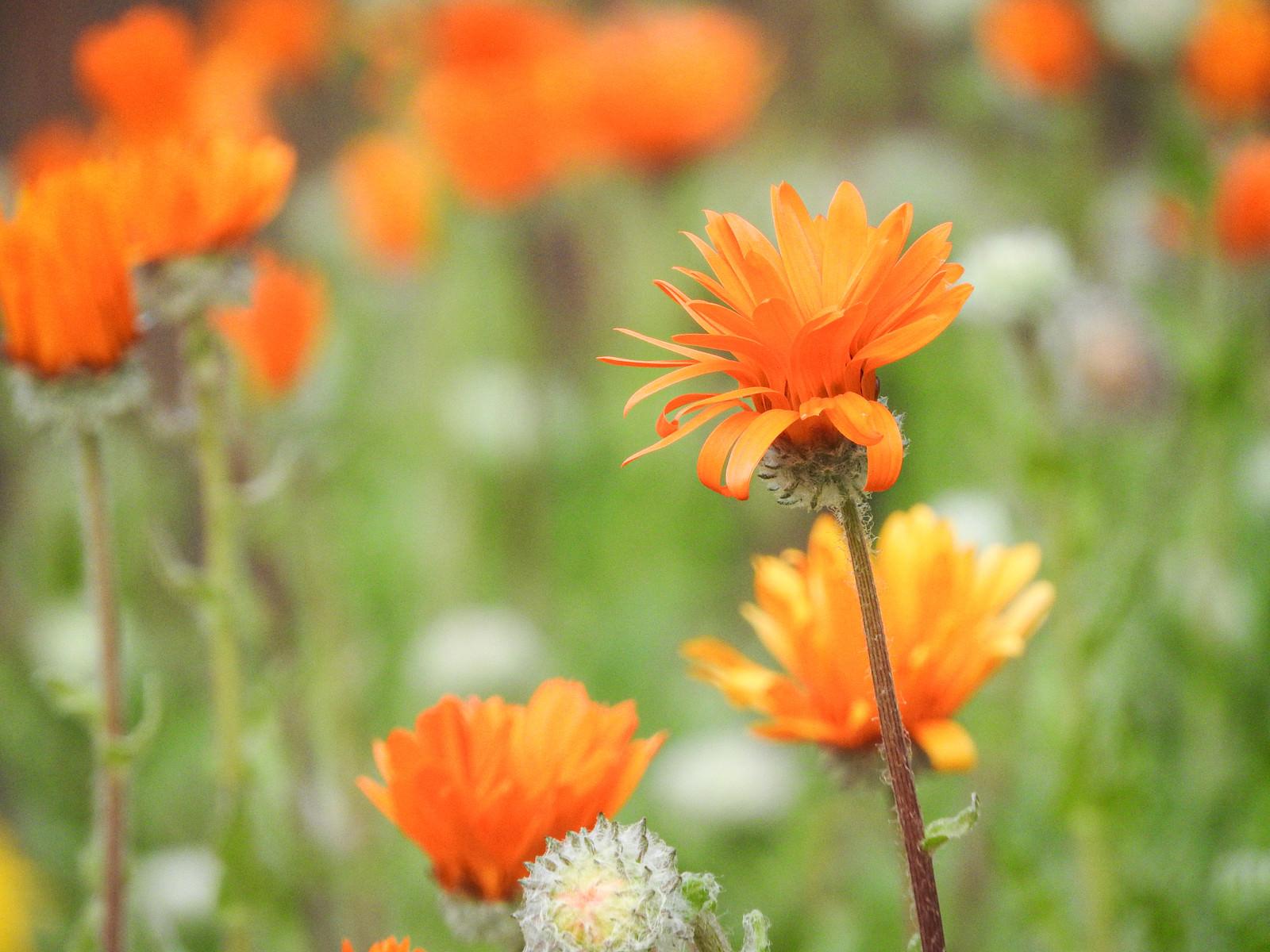 「野に咲くキンセイカ」の写真