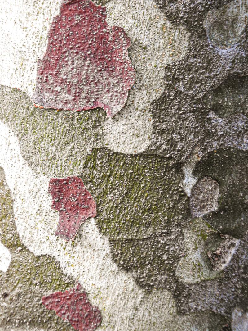 「シロマツの樹皮(テクスチャ)」の写真