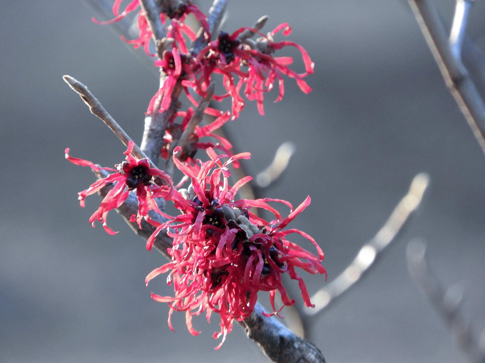「早春に咲く赤花満作(アカバナマンサク)」の写真