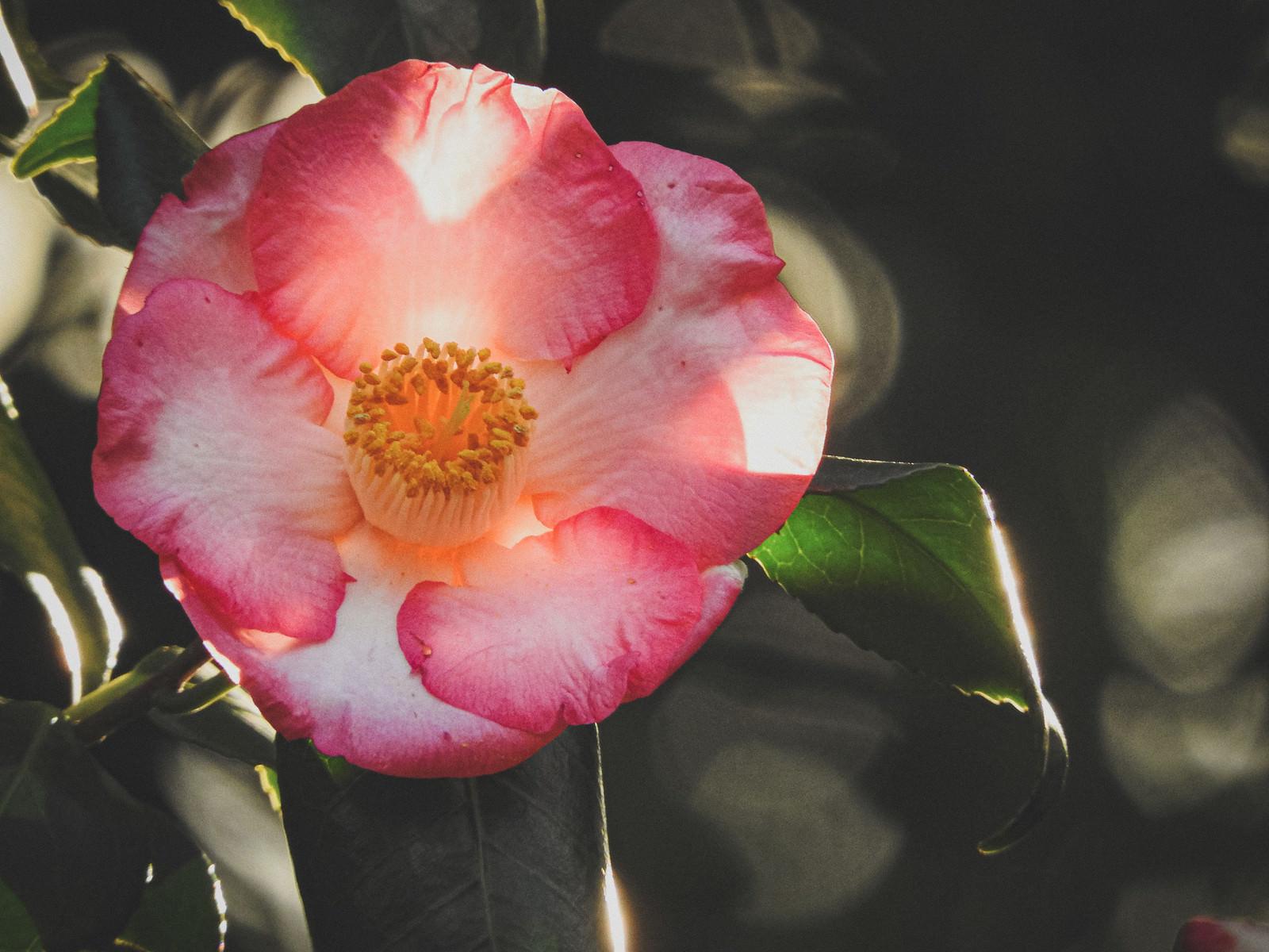 「(八重咲きの)椿」の写真