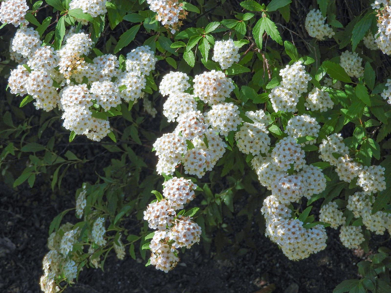 「コデマリの花(バラ科)」の写真