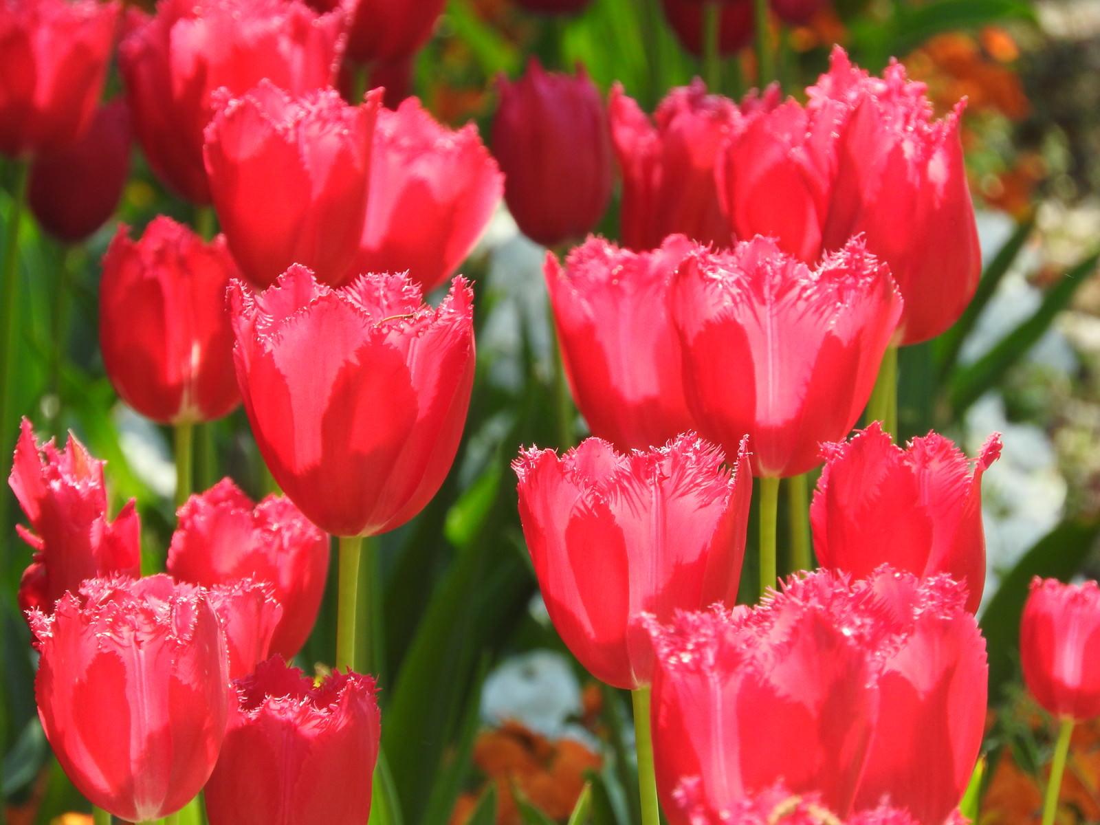 「開花したチューリップ」の写真