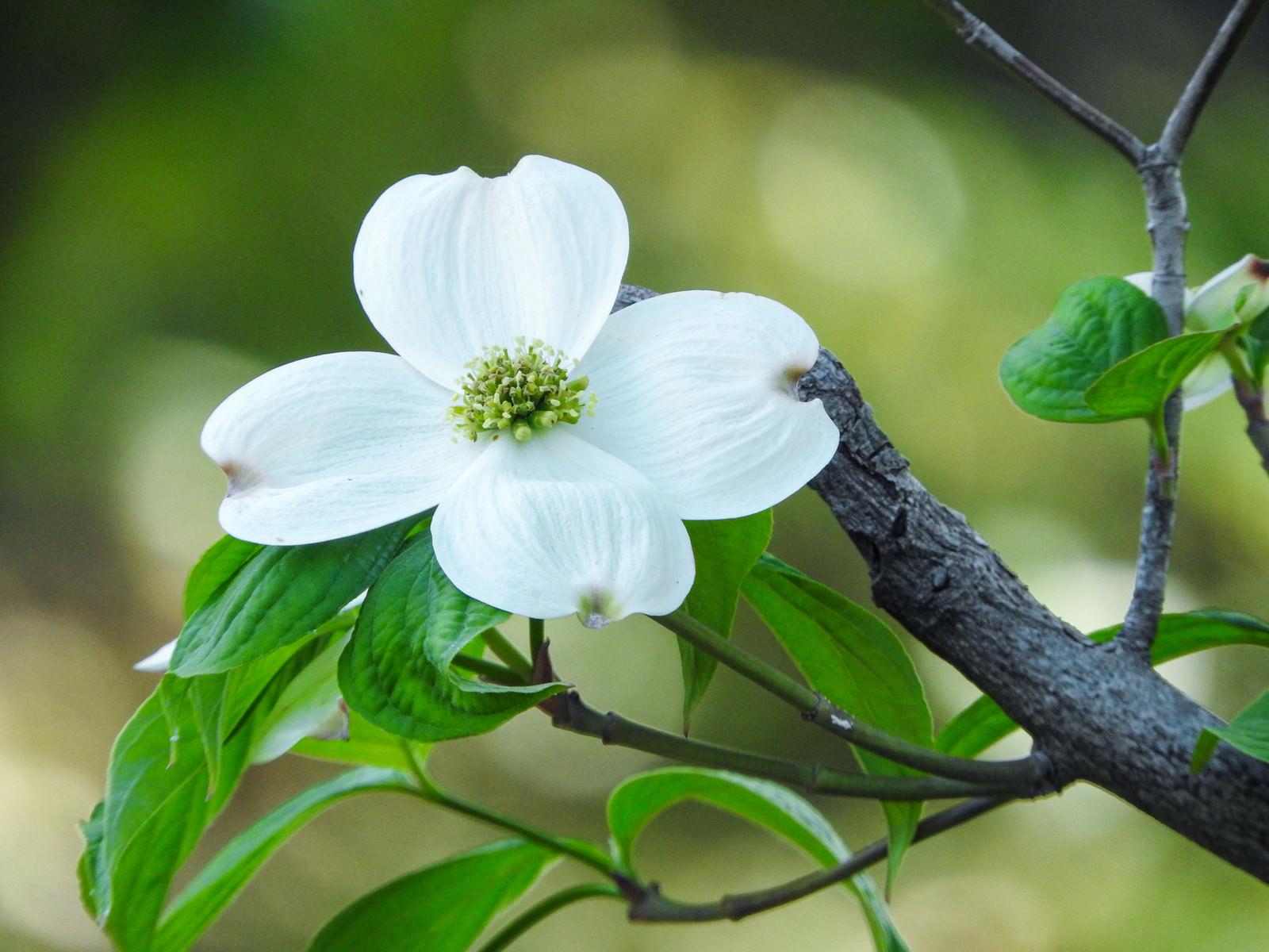 「白いハナミズキの花」の写真