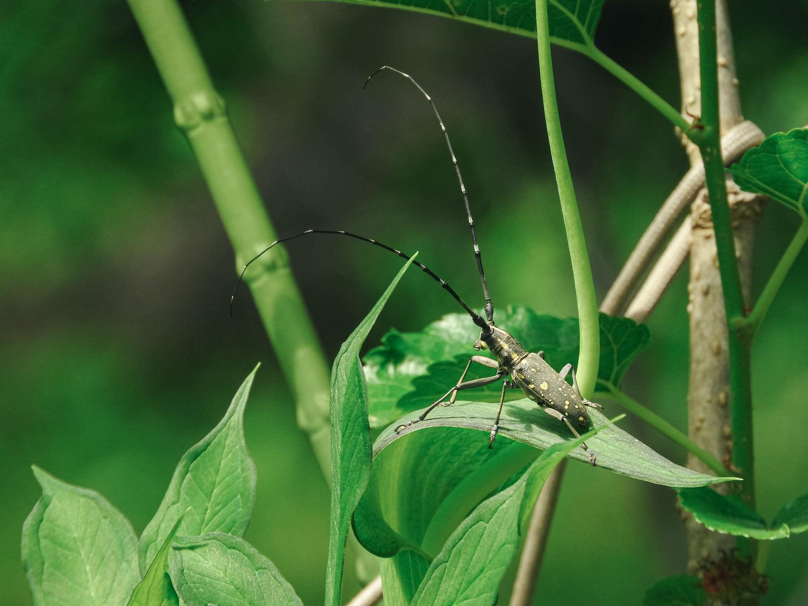 「草の上に器用に乗るキボシカミキリ(昆虫)」の写真