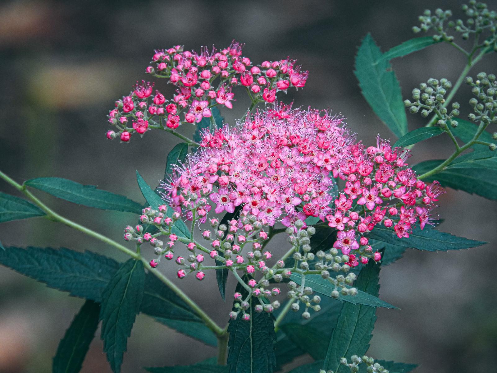 「枝先に集まるように小さな花を咲かせるシモツケ」の写真