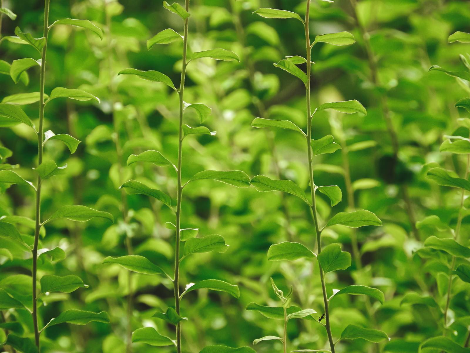 「伸びていく新緑」の写真