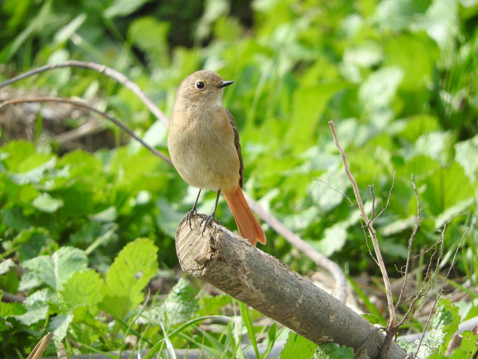 「周りを警戒する野鳥(ジョウビタキ・メス)」の写真
