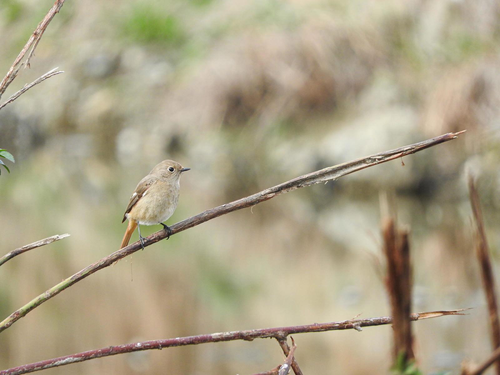 「枝に止まるジョウビタキのメス(野鳥)」の写真