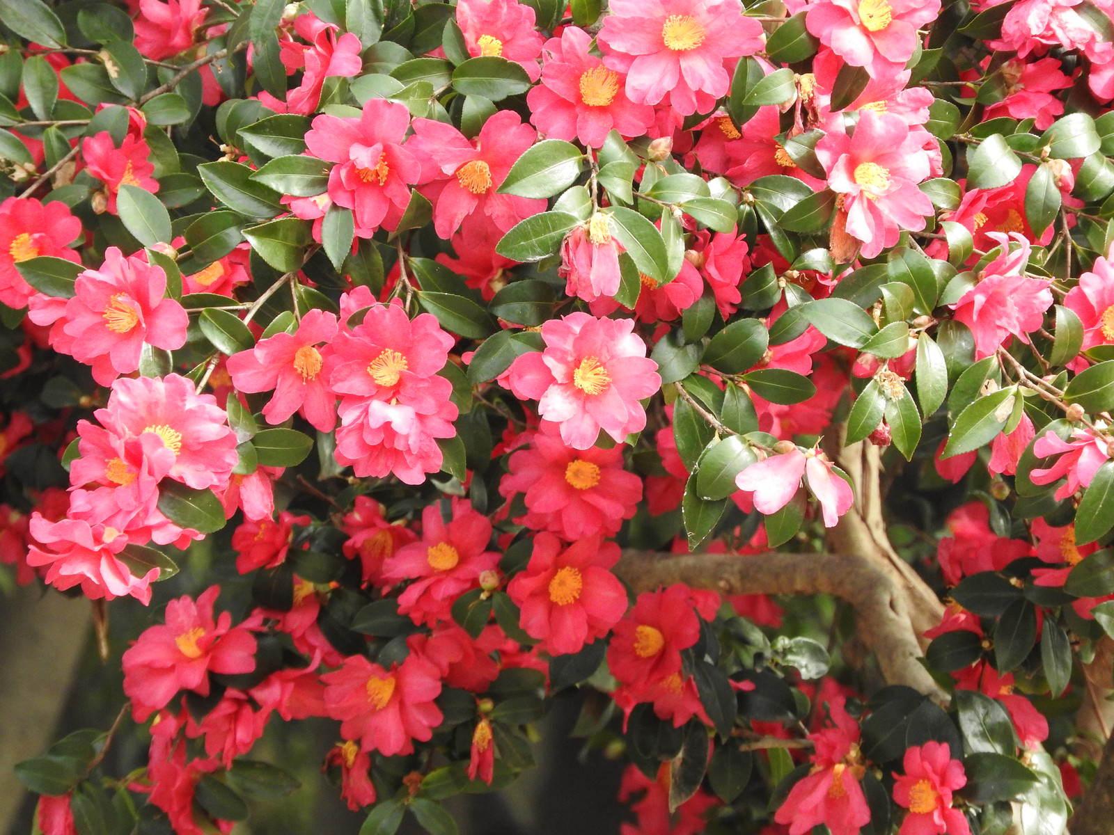 「花開く山茶花(サザンカ)」の写真