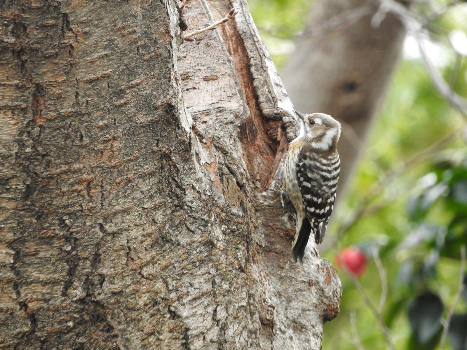 「木に止まったコゲラ(キツツキ科)」の写真