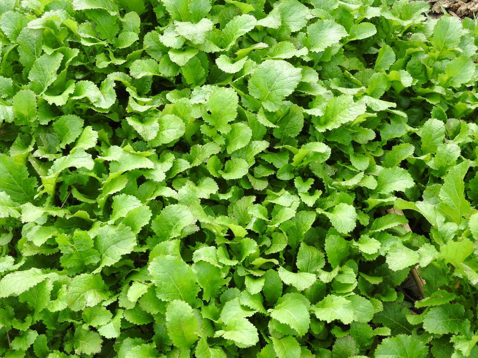 「隙間なく育つ青菜」の写真