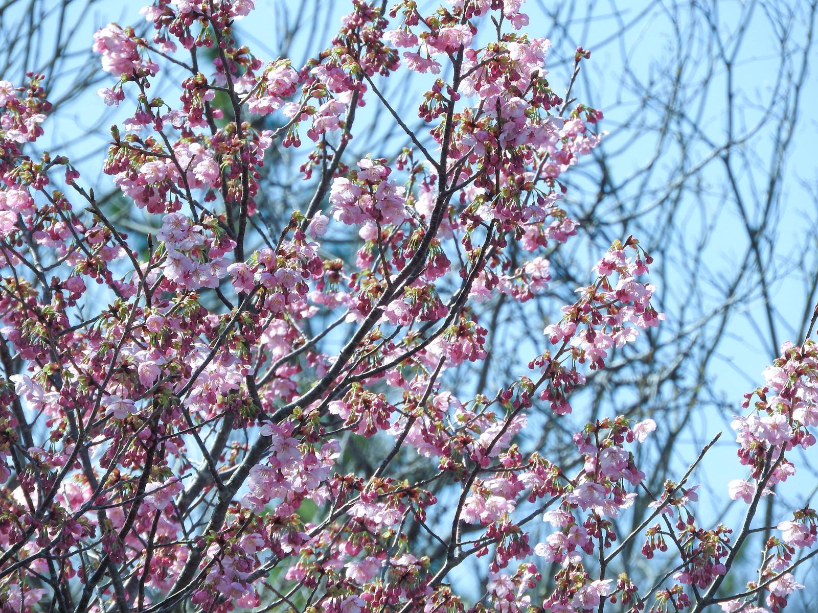 「山の八重桜(ヤエザクラ)」の写真